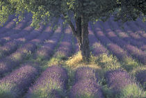 Europe, France, Provence, Sault Lavender fields by Danita Delimont