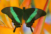 Sammamish, Washington Tropical Butterfly Photograph of Papilio palinurus by Danita Delimont