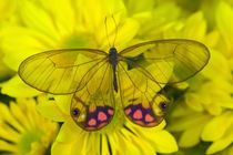 Sammamish Washington Photograph of Butterfly on Flowers, Glass Wing Butterfly by Danita Delimont