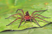 Six Spotted Fishing Spider feeding on Fly Dolomedes triton Central Pennsylvania von Danita Delimont