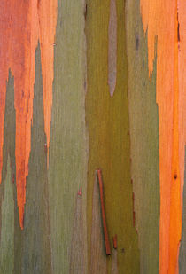 USA, Hawaii, Kauai. Detail of eucalyptus tree bark. Credit as by Danita Delimont