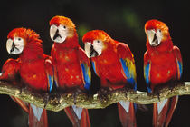 Red-and-green macaws, Ara chloroptera, Manu National Park, Peru by Danita Delimont