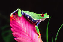 Red Eye Treefrog on Bromeliad, Agalychinis callidryas, Native to Central America by Danita Delimont
