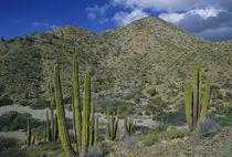 Cactus, Cardon Cactus, endemic, Island Santa Catalina, Baja California, Mexico. von Danita Delimont