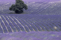 Europe, France, Provence, Sault region Lavender fields by Danita Delimont