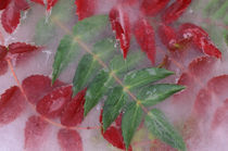 NA, USA, Washington, Issaquah. Ice encased Mahonia green/red by Danita Delimont