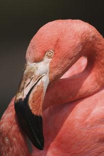 Chilean Flamingo, Phoenicopterus chilensis by Danita Delimont