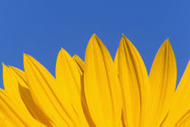NA,USA,Washington State, Seattle, Sunflower in Blue Sky von Danita Delimont