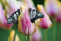 Two Swallowtail Butterflies on Tulip in Early Morning. Credit as by Danita Delimont