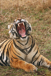 Royal Bengal Tiger yawning, Ranthambhor National Park, India. by Danita Delimont