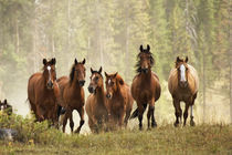 Horses cresting small hill during roundup, Montana. by Danita Delimont