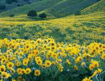 UTAH. USA. Arrowleaf balsamroot in bloom von Danita Delimont
