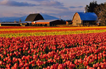 Commercial Tulip Field in the Skagit Valley of Washington by Danita Delimont