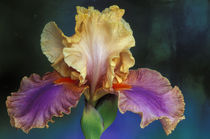 Michigan, Rochester Bearded Iris, domestic. by Danita Delimont