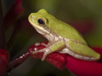 Squirrel treefrog on coral bean, Hyla squirella, Texas coastline by Danita Delimont