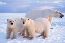 polar bear, Ursus maritimus by Danita Delimont