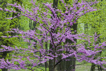 Redbud trees in full spring bloom near Defiance Ohio by Danita Delimont