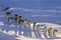 Emperor penguins walking, Aptenodytes forsteri, Antarctica by Danita Delimont