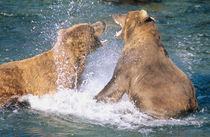 Two male Alaskan Brown Bears (Ursus arctos) battling in the water.  Brooks River von Danita Delimont