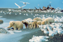 Polar Bears (Ursus maritimus) ,surrounded by Glaucous Gulls, North Slope von Danita Delimont