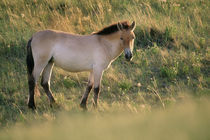 Takhi, Equus caballus przewalskii, Hustain Nuruu National Park, Mongolia by Danita Delimont