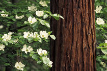 North America, USA, California, Yosemite National Park. Dogwood flowers by Danita Delimont