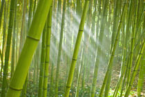 Morning sunlight filtering through bamboo grove in a botanical garden, Italy von Danita Delimont