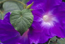 N.A., USA, Maui, Hawaii.  Morning Glory vine. von Danita Delimont