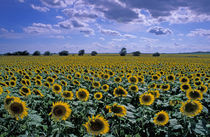 NA, USA, Kansas Sunflower crop von Danita Delimont
