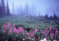 NA, USA, Washington, Foggy Alpine Meadow, Mt. Rainier National Park by Danita Delimont