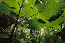 Cloud forest undergrowth, Monteverde Cloud Forest Preserve, Costa Rica von Danita Delimont