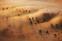 USA, Minnesota. Pine forest in morning fog. Credit as by Danita Delimont