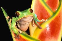 South America, Ecuador, Amazon. Tree frog (Phyllomedusa tarsius) by Danita Delimont