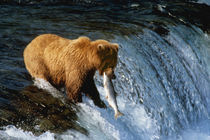 Alaskan Brown Bear Catching Salmon at Brooks Falls by Danita Delimont