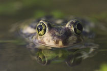Couch's Spadefoot, Scaphiopus couchii by Danita Delimont