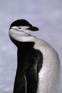 Antarctica. Chinstrap penguin by Danita Delimont