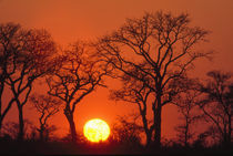 South Africa. Kruger National Park. Silhouette of trees as the sun sets von Danita Delimont