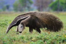 Giant anteater searching for termites, Myrmecophaga tridactyla, Pantanal, Brazil by Danita Delimont