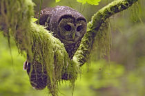 Oreogn, Coast Range, a Northern Spotted Owl (Strix occidentalis) von Danita Delimont