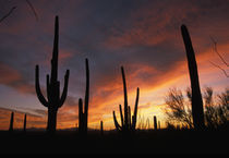 Carnegiea gigantea, after sunset in Saguaro National Park by Danita Delimont