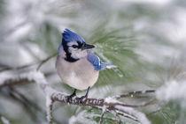 Blue Jay, Cyanocitta cristata by Danita Delimont