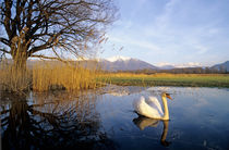 Mute Swan, Cygnus olor,adult with Alps in background von Danita Delimont