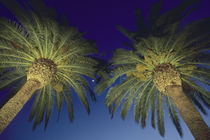 Palm Trees, San Francisco, California, USA von Danita Delimont