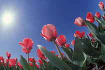 Red tulips from very low angle, Cincinnati, Ohio von Danita Delimont