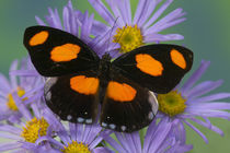 Sammamish Washington Photograph of Butterfly on Flowers, von Danita Delimont