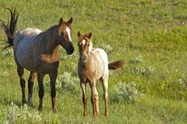 Wild Horses at Theodore Roosevelt National Park in North Dakota by Danita Delimont