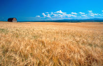 Norht America, Idaho. Barley field in Eastern Idaho. by Danita Delimont
