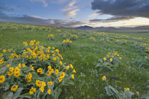 Arrowleaf balsomroot and morning sunrise along the Judith Mountain Range by Danita Delimont