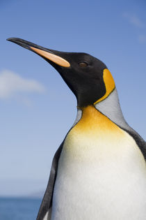 Antarctica, South Georgia Island (UK),  Portrait of King Penguin von Danita Delimont