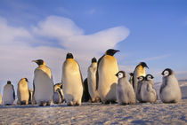 Emperor penguin adults and chicks, Aptenodytes forsteri, Antarctica by Danita Delimont